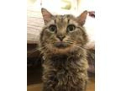 Adopt Bruce (Needs Foster) a Maine Coon / Mixed cat in Washington, DC (25838010)