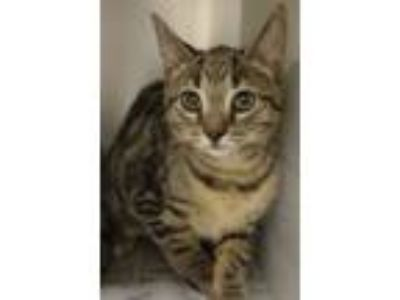 Adopt Peg a Domestic Short Hair