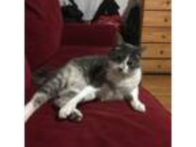 Adopt Opi a Domestic Short Hair