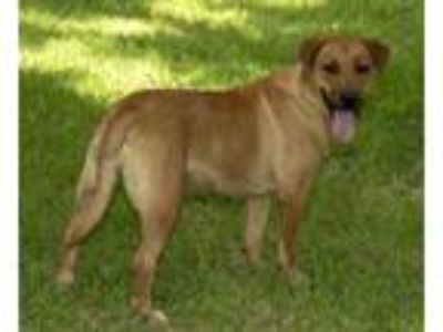 Adopt DAKOTA---SWEET LOW RIDER a Basset Hound, Labrador Retriever