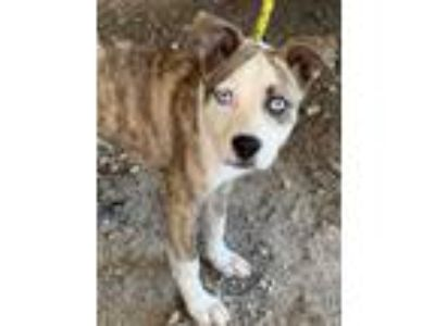 Adopt Redford a Cattle Dog