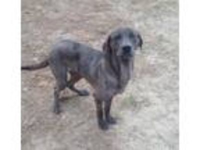 Adopt Kamikaze a Labrador Retriever / Mixed dog in West Columbia, SC (20562410)