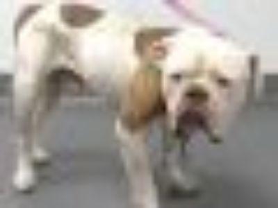 19-07527 American Bulldog Dog