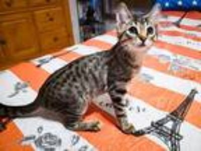 Adopt Luna a Brown Tabby Domestic Shorthair / Mixed (short coat) cat in St.