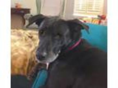 Adopt Avianna a Black - with White Labrador Retriever / Mixed dog in Alpharetta