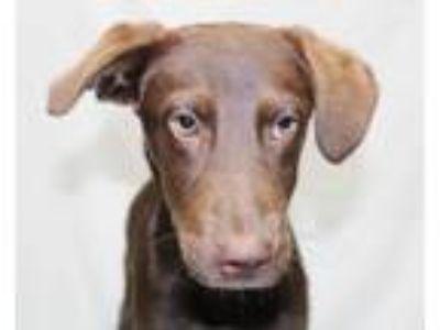 Adopt Wendall a Brown/Chocolate - with White Labrador Retriever / Mixed dog in