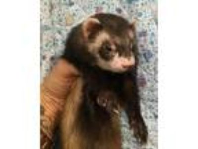 Adopt MS FLUFFYPANTS* a Ferret