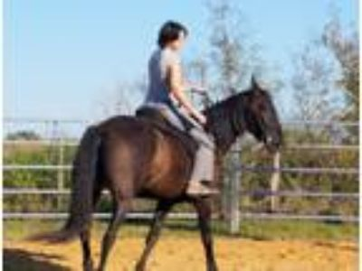 Black Andalusian Mare for Sale or Trade