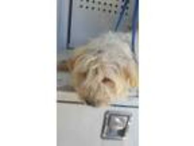 Adopt Taffy a White Terrier (Unknown Type, Small) / Mixed dog in Fresno
