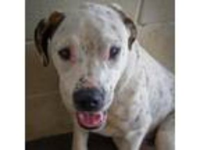 Adopt Fozzie (Hank) a White - with Tan, Yellow or Fawn Boxer dog in Starkville