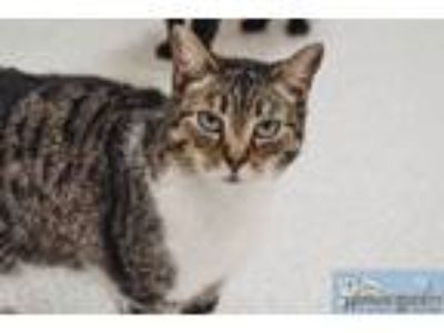 Adopt Serena a Domestic Short Hair