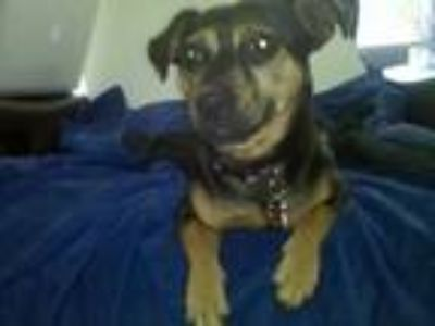 Adopt Buddy a Black - with Tan, Yellow or Fawn Miniature Pinscher / Beagle /