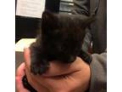 Adopt Cuddy 6826 a All Black Domestic Shorthair cat in Columbus, GA (25369035)