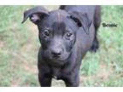 Adopt Bennie a Black Shepherd (Unknown Type) / Labrador Retriever / Mixed dog in