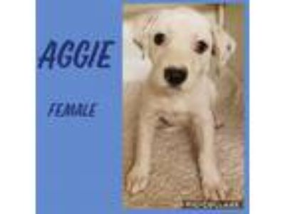 Adopt Aggie meet me 6/28 a White Hound (Unknown Type) / Mixed dog in East