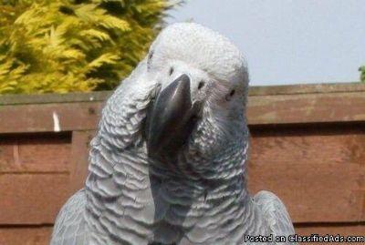 2 African parrots for sale