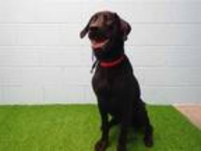 Adopt JACK a Black Labrador Retriever / Mixed dog in St. Cloud, FL (25828505)