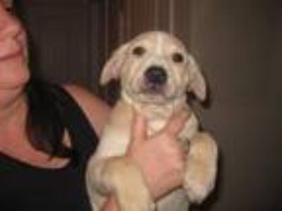 Adopt JD MOPS a Tan/Yellow/Fawn Pointer / Labrador Retriever / Mixed dog in