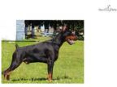 AKC Euro World Ch lines show/working doberman