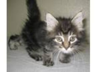 Adopt Fluffy a Domestic Short Hair