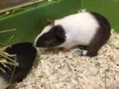 Adopt 847-19 a White Guinea Pig / Guinea Pig / Mixed small animal in Cumming