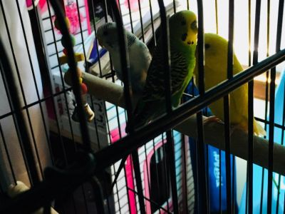 3 Parakeets with Cage