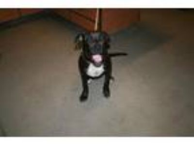 Adopt A521544 a American Staffordshire Terrier, Mixed Breed