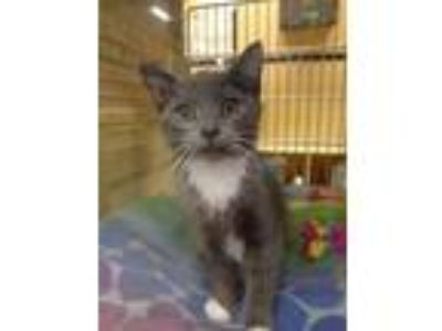 Adopt Pounce de Leon a Gray or Blue (Mostly) Domestic Shorthair / Mixed cat in
