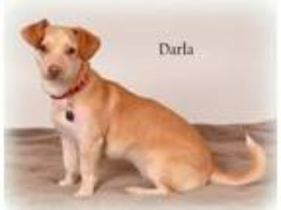 Adopt Darla a Tan/Yellow/Fawn Dachshund / Affenpinscher / Mixed dog in St