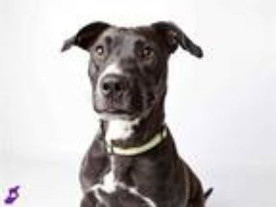 Adopt GINGER a Black - with White Labrador Retriever / Mixed dog in Murray