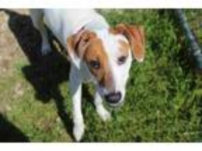 Adopt Max-Mobile a White Hound (Unknown Type) / Mixed dog in E.