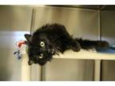 Adopt Jet a Domestic Long Hair
