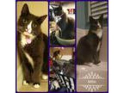 Adopt Millie a Black & White or Tuxedo Domestic Mediumhair / Mixed cat in St.