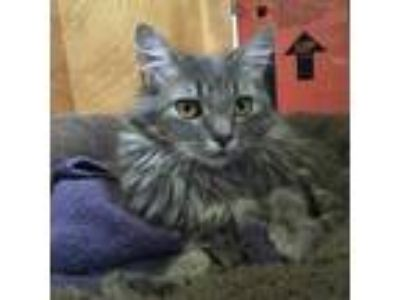 Adopt Lucy a Spotted Tabby/Leopard Spotted Domestic Longhair / Mixed cat in