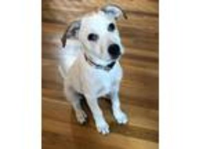 Adopt Queen a Great Pyrenees, Cattle Dog