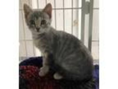 Adopt Sophie a Gray or Blue Domestic Shorthair / Domestic Shorthair / Mixed cat