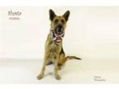 Adopt Dog a Brown/Chocolate German Shepherd Dog / Mixed dog in Thousand Palms