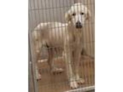 Adopt Azle a White Great Pyrenees / Mixed dog in Brownwood, TX (25498672)