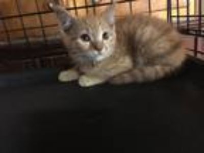 Adopt Chuck a Domestic Shorthair / Mixed cat in Central Islip, NY (25886120)