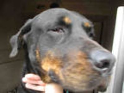 Adopt SOPHIA a Black - with Tan, Yellow or Fawn Rottweiler / Mixed dog in
