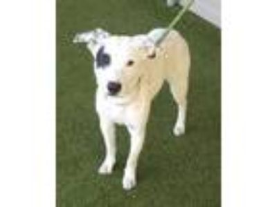 Adopt Hedwig a White Labrador Retriever / Mixed dog in Clearfield, PA (25625043)