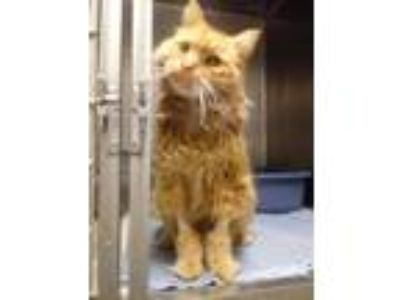 Adopt Shorewood a Orange or Red Domestic Mediumhair / Mixed (medium coat) cat in