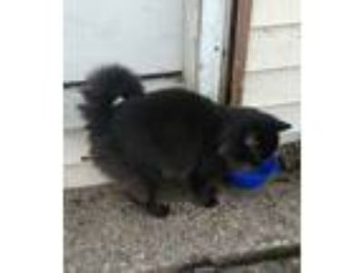 Adopt Fat Boy a Black (Mostly) Domestic Longhair cat in Moravia, NY (24832294)