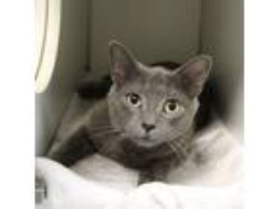 Adopt Piper a Domestic Shorthair / Mixed cat in Raleigh, NC (25877365)