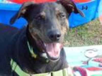Adopt Jay Jay a Black Hound (Unknown Type) / Mixed dog in Daytona Beach