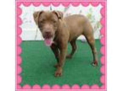 Adopt CHER see Sonny a Brown/Chocolate - with White Labrador Retriever / Mixed
