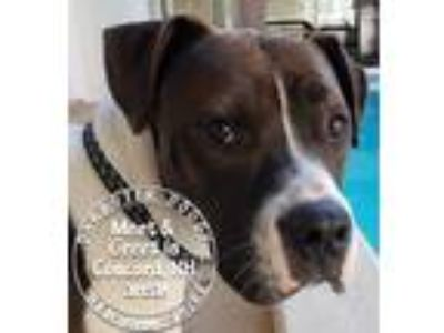 Adopt Daphne a Black - with White Boxer / Mixed dog in Manchester, NH (25534328)