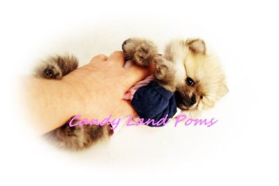 Teddy Bear Pomeranian Puppies Boo is the Grand daddy LOOK 2 left poms