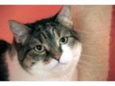 Adopt Scout a Tan or Fawn Tabby Domestic Shorthair (short coat) cat in Sheridan