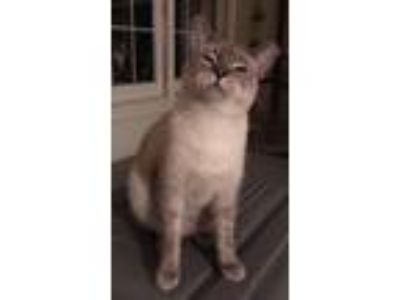 Adopt Simon a Gray or Blue Siamese / Mixed (short coat) cat in Mobile